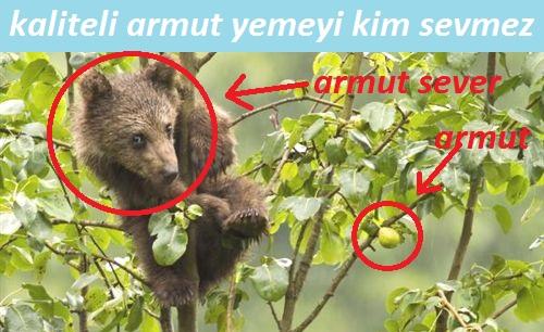 armut ve ayı